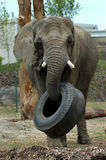 Elephant picking up tire. Elephant picking up a tire with his trunk stock image