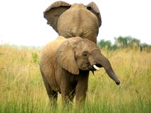African animals. Elephant at Pilanesberg National Park Stock Photo