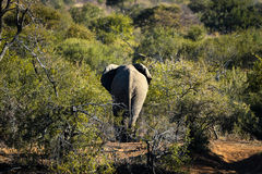 Elephant from Pilanesberg, South Africa Stock Photo
