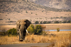 Elephant in Pilanesberg, South Africa. Male elephant walking next to road in Pilanesberg, South Africa Royalty Free Stock Images