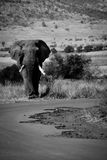 Elephant in Pilanesberg, South Africa. Male elephant walking next to road in Pilanesberg, South Africa Stock Image