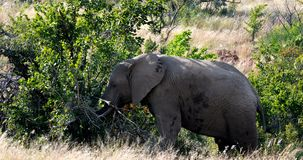 Elephant in Pilanesberg, South Africa wildlife safari. Majestic wild African Elephant in Pilanesberg Game reserve. South Africa wildlife safari stock video