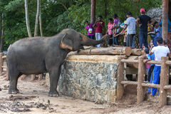 An elephant at the Pinnawala Elephant Orphanage (Pinnewala) is hand fed fruit by a visitor to the park. Pinnawela is located in central Sri Lanka Royalty Free Stock Image