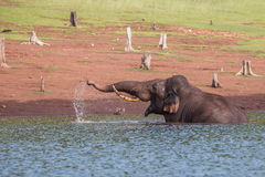 Elephant plaing in river Stock Photography