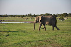 Elephant on the plains Royalty Free Stock Image