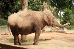 The elephant play. A great elephant in biopark in Rome - Italy Stock Photo
