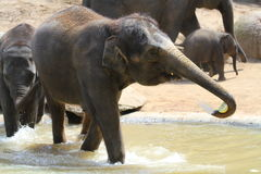 Elephant. A playful elephant drinking , eating, playing around Stock Photography