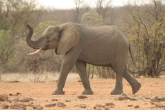 Elephant playing. A elephant very playful on its way to a water hole in the Kruger National Park royalty free stock images