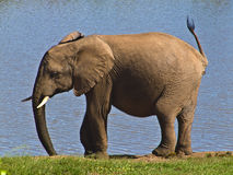 Elephant Playing Royalty Free Stock Image