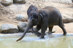 Elephant. A elephant playing around by him self Royalty Free Stock Photo