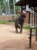 Elephant Playing Basketball. In Thailand zoo Stock Images