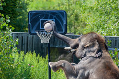 Elephant. The elephant is playing basketball Royalty Free Stock Images