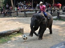 Elephant playing football Stock Photography