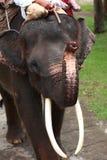 Elephant playing harmonica Stock Images