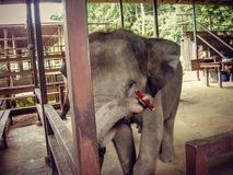 Elephant playing a harmonica in a pen in Thailand royalty free stock photo