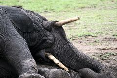 Free Elephant Playing In Mud Royalty Free Stock Photos - 1691768