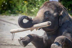 Elephant. The elephant is playing log Royalty Free Stock Image