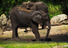 Elephant playing in the mud Royalty Free Stock Image