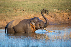 Elephant playing with mud in a river Stock Image