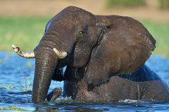 Elephant playing in river Royalty Free Stock Photo