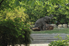 Elephant playing with a tree Royalty Free Stock Photos