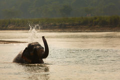Elephant playing with water in a river, Chitwan Nationl Park, Nepal. Royalty Free Stock Images