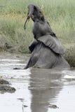 Elephant playing Royalty Free Stock Photos