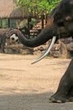 Elephant plays football Royalty Free Stock Photo