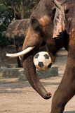 Elephant plays football Royalty Free Stock Images