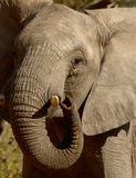 An Elephant plays with its tusk in South Africa Royalty Free Stock Photography