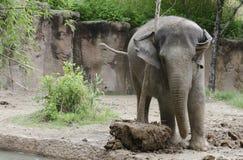 Elephant plays with tree Royalty Free Stock Photos