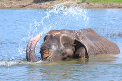 Elephant plays water Stock Photos