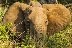 Loan Elephant in Tsavo national park kenya east africa  in Tsavo national park kenya east africa Stock Photography
