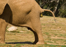 Elephant poo. A large elephant taking a large pooh in a zoo Royalty Free Stock Photography