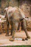 Elephant Pooping. Royalty Free Stock Photo