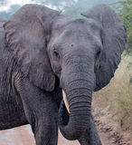 Elephant Portait in Kruger National Park Royalty Free Stock Images