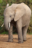 Elephant Portrait stock images