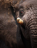 Elephant portrait Stock Photos
