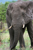 Elephant Portrait. Portrait of an elephant at Kruger Park in South Africa Royalty Free Stock Images