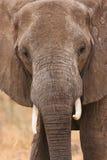 Elephant portrait Royalty Free Stock Photo