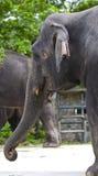 Elephant on portrait Royalty Free Stock Photography