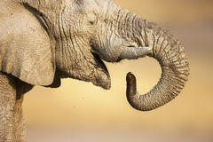 Elephant portrait Stock Image