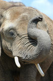 Elephant portrait. Portrait of an elephant with his trunk raised up royalty free stock photo