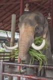Elephant portrait Royalty Free Stock Images