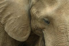 Elephant Portrait. Upclose look at the elephant face and ears Stock Photography