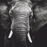 Elephant Portrait. A black and white Portrait of an elephant Stock Images