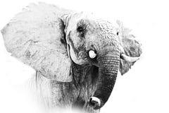 Elephant Portrait. Black and White Wildlife Art Photography of a Elephant in the Masai Mara Kenya Africa royalty free stock photo