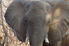 Elephant portrait. Elephant coming out of the African bush stock photo
