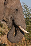 Elephant portrait. Portrait of an elephant while eating in the Kruger National Park, South Africa Stock Photo