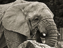 Elephant portrait. A friendly elephant, happily chewing his branch royalty free stock images